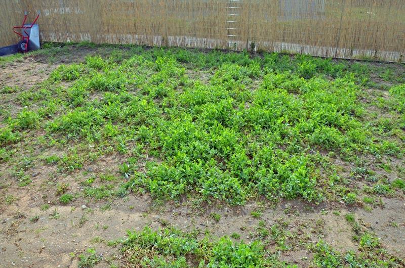 Garten mit Gründünger vorm jäten