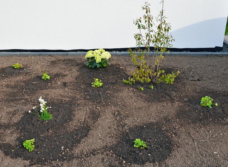 Vorgarten-Pflanzen, rechts Magical-Hortensie und Felsenbirne