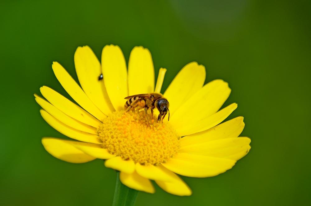 Biene auf gelbem Korbblütler