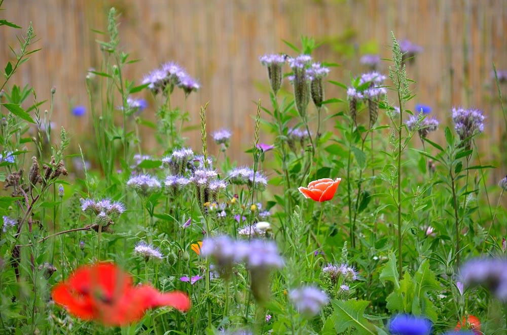 Bienenweidenwiese mit Phacelia und Mohn