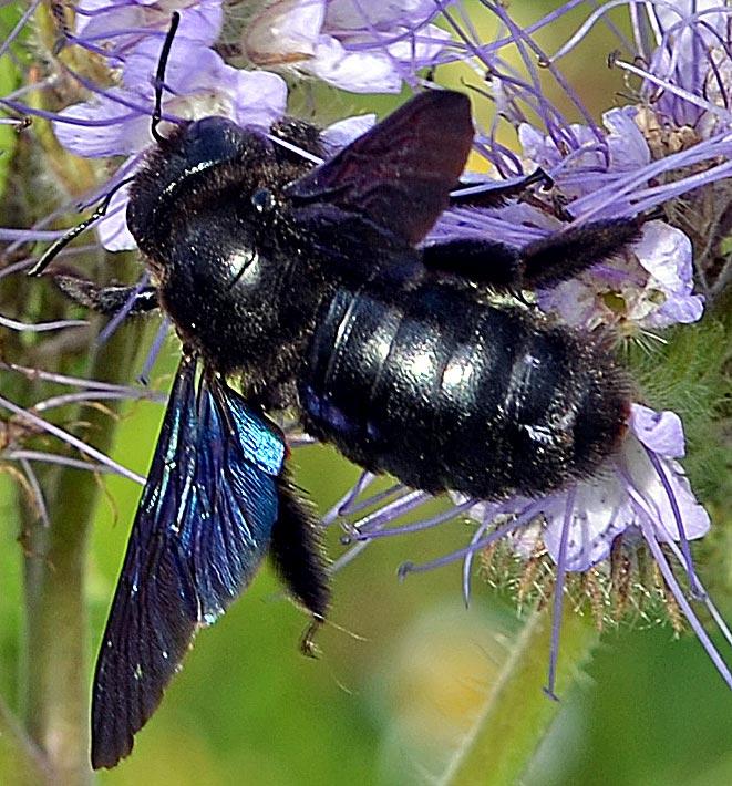 Blaue Holzbiene auf Phacelie, Kopfüber-Schwebfliege im Hintergrund (Zoom)