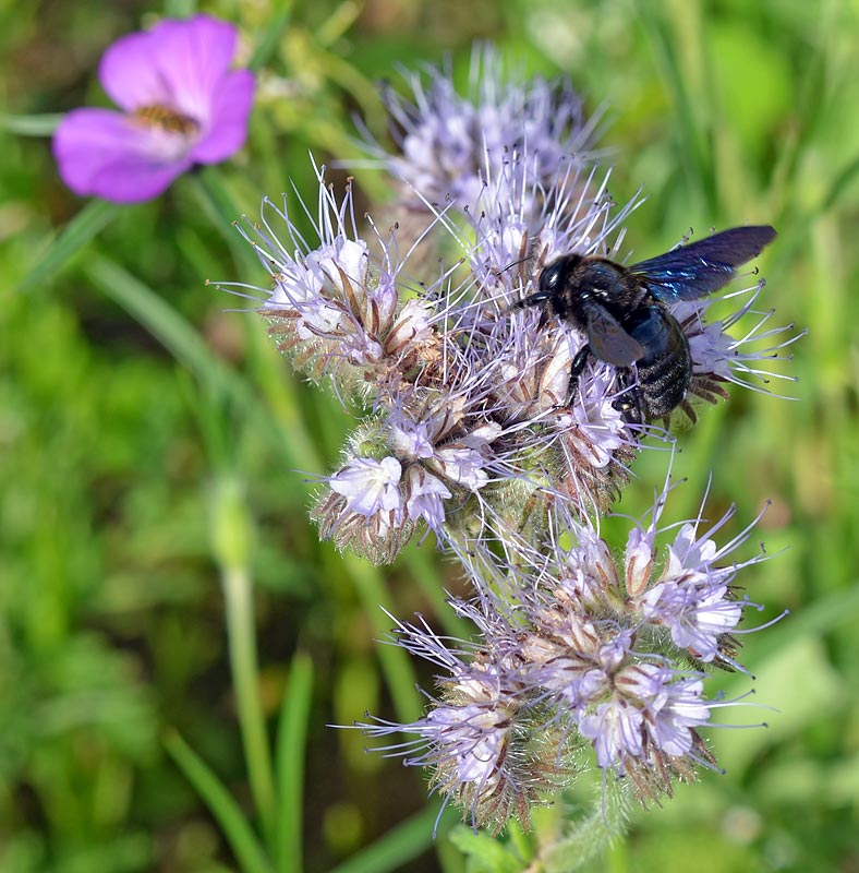 Blaue Holzbiene auf Phacelie, Schwebfliege im Hintergrund