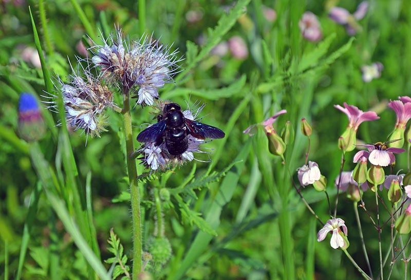 Blaue Holzbiene auf Phacelie