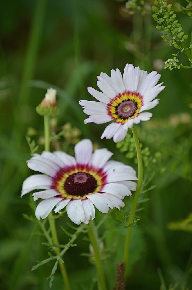 Bunte Wucherblumen rot-gelb-violett (Kokarden)