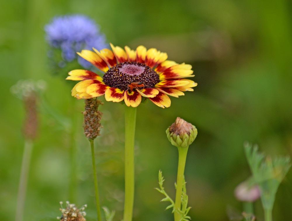 Bunte Wucherblume orange-rot-violett mit rötlichem Käfer