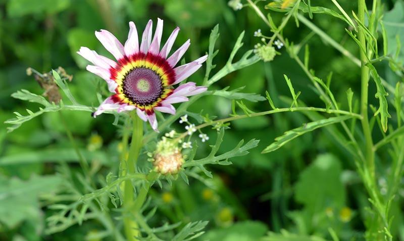 """""""Buntkreisblume"""" - genaue Blumenart noch zu bestimmen"""