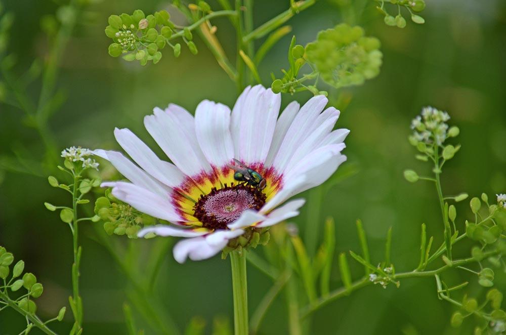 Goldfliege auf Bunten Wucherblumen (Kokarden)