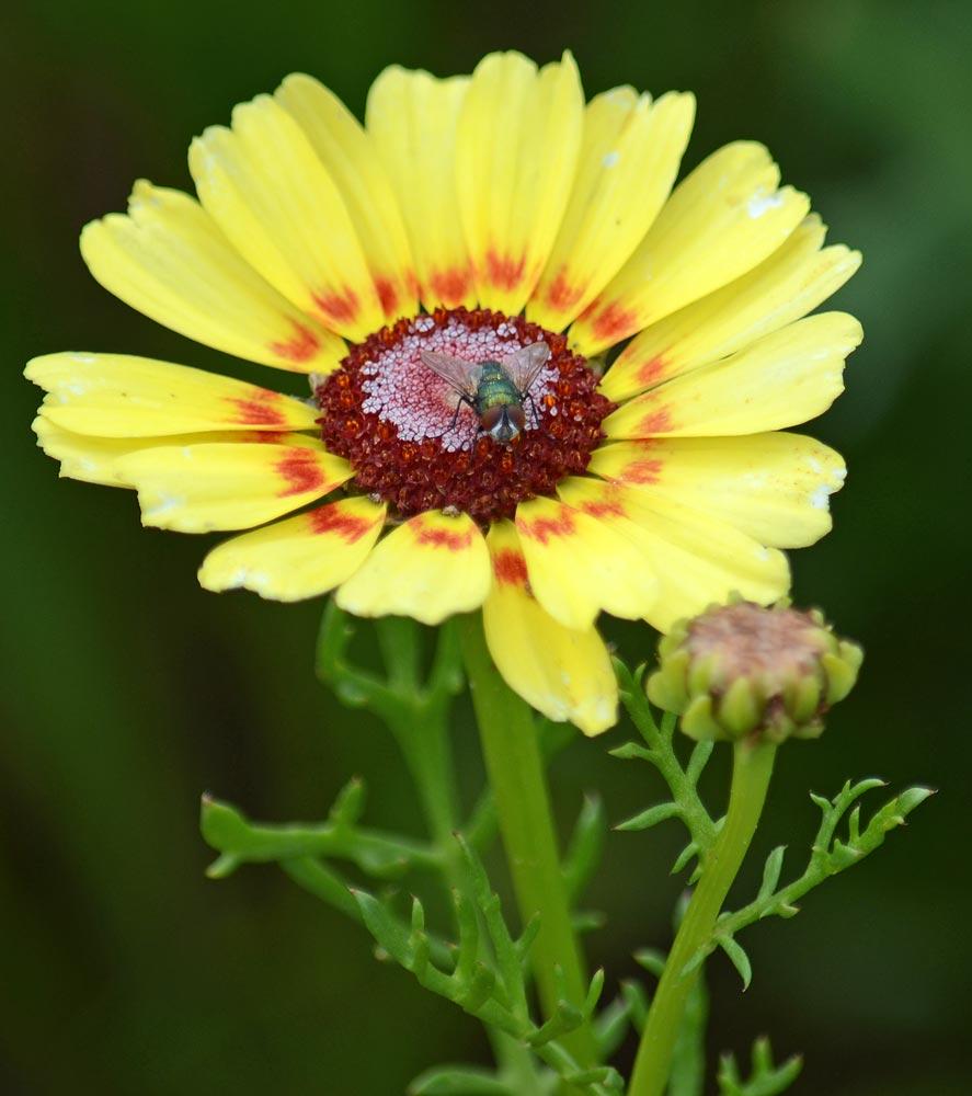 Fliege auf Bunter Wucherblume gelb-rot-weiß