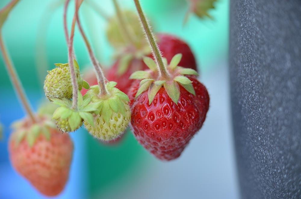 Erdbeeren Makroaufnahme