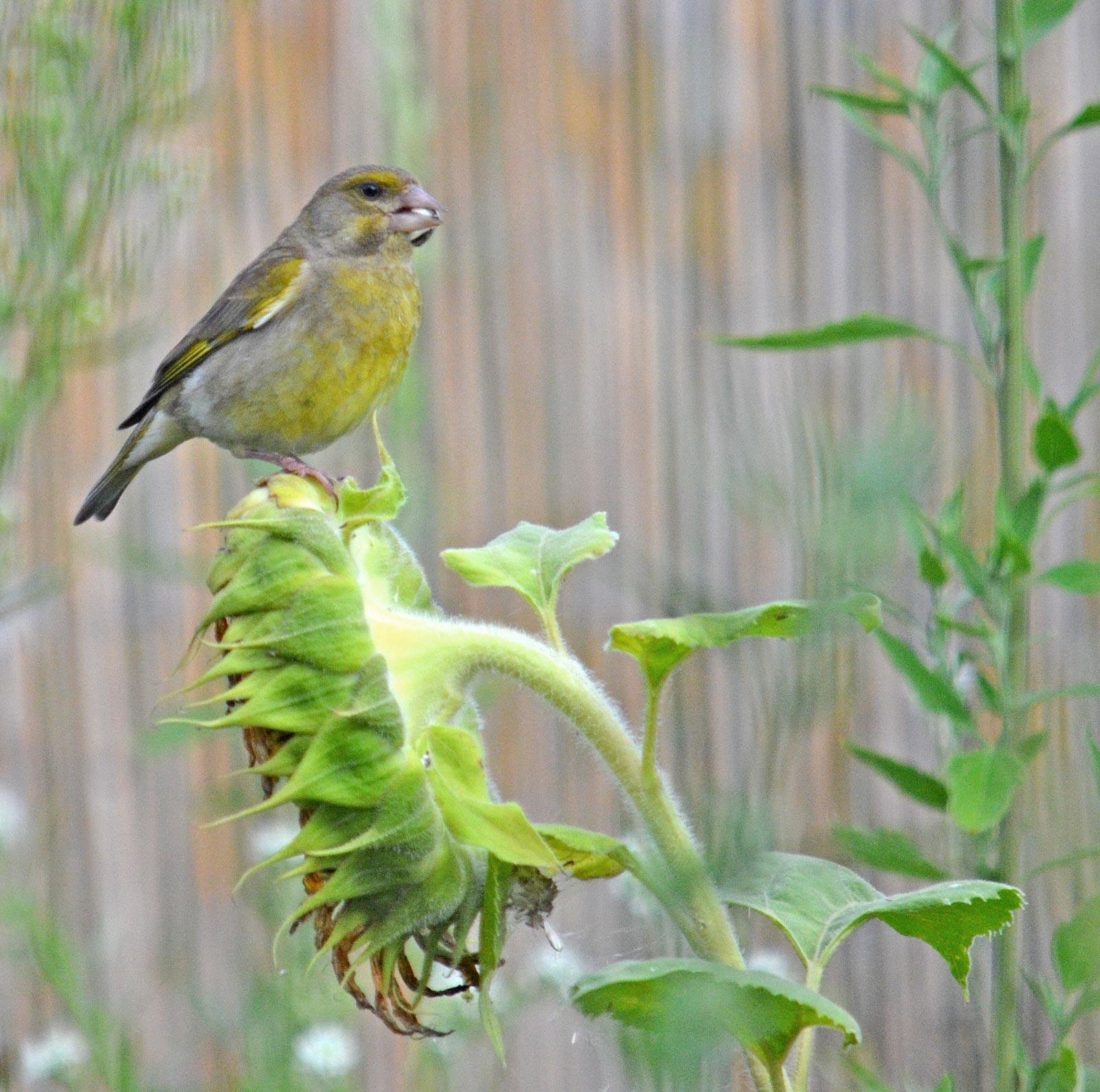 Grünfink auf Sonnenblume