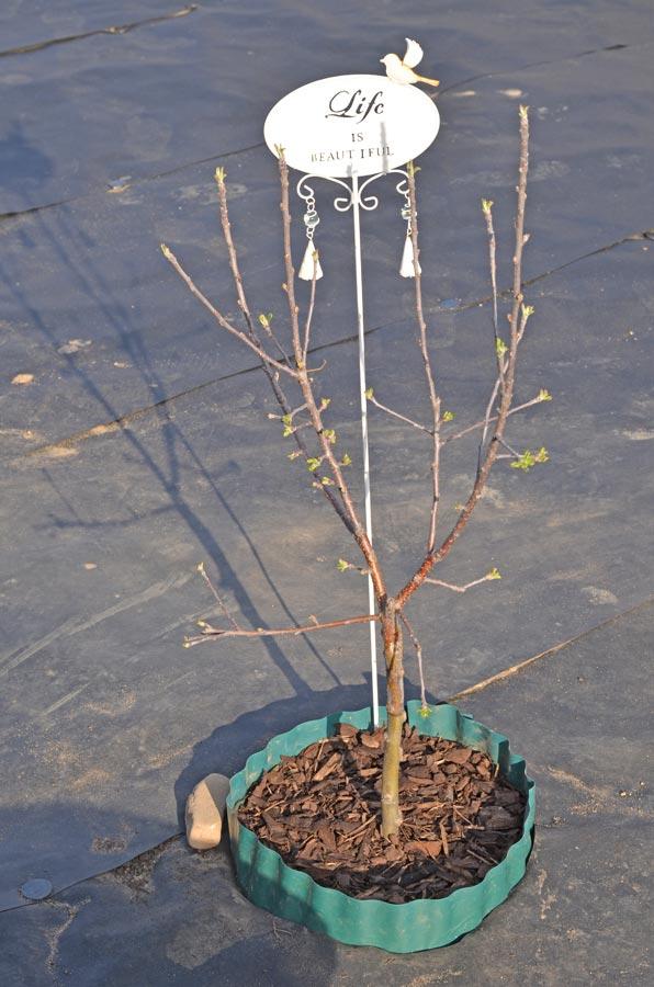 Apfelbaum gemulcht mit Umrandung